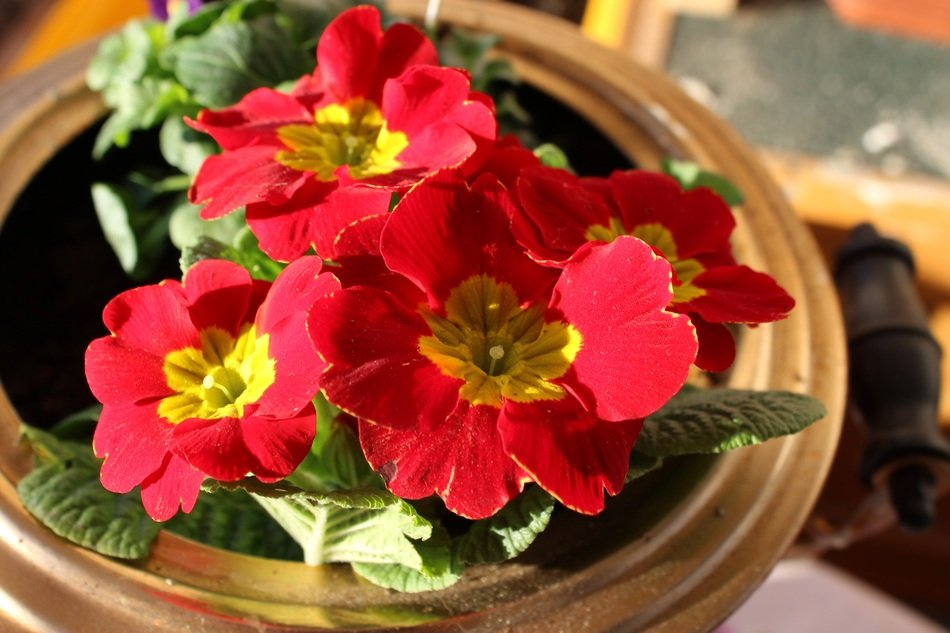 Picture of potted Primroses