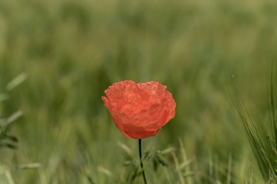 red poppy in tall green grass closeup