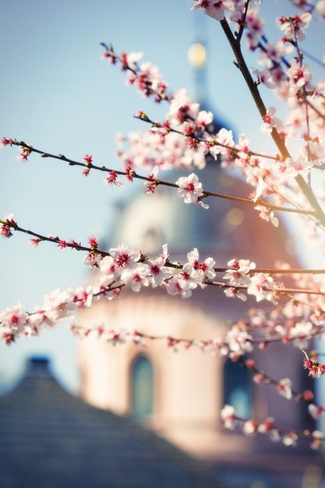 branches of blooming magnolia on the background of the cathedral