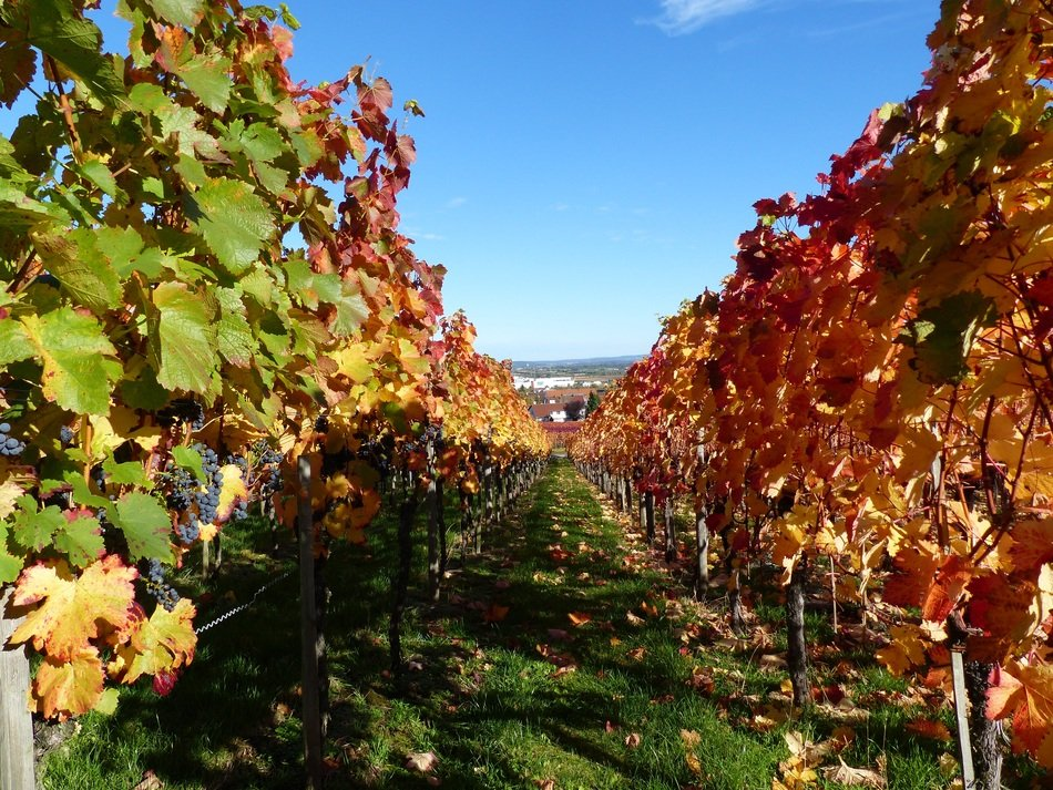 landscape of colorful vineyards in autumn