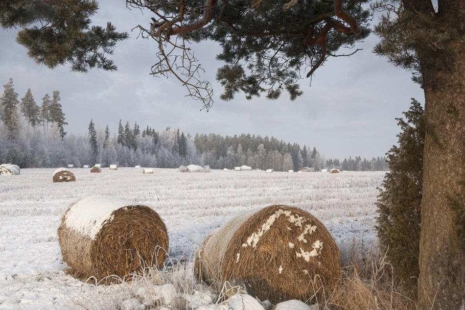 bales of straw lie in the snow on the field