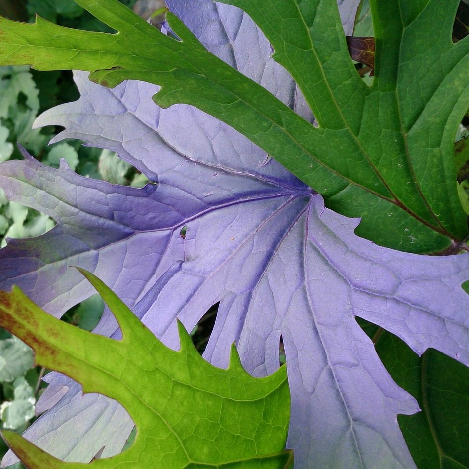 closeup photo of purple leaf behind green leaves in the garden