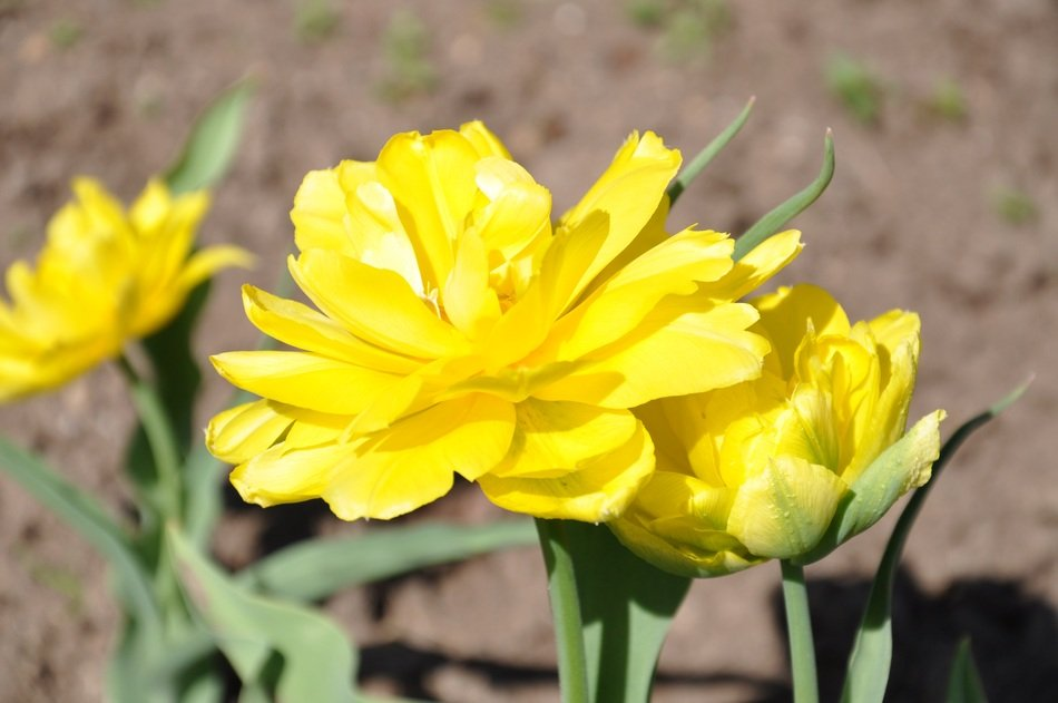 delightful delicate beauty yellow tulips