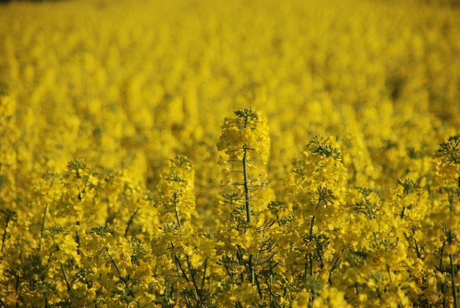 Plant Rapeseed Yellow Field view