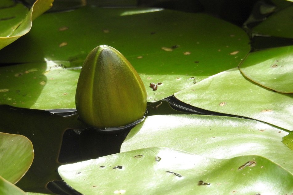 large bud of water lily on a pond