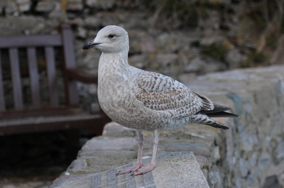 seagull on a stone wall close-up