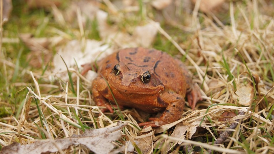 common frog on autumn grass and foliage