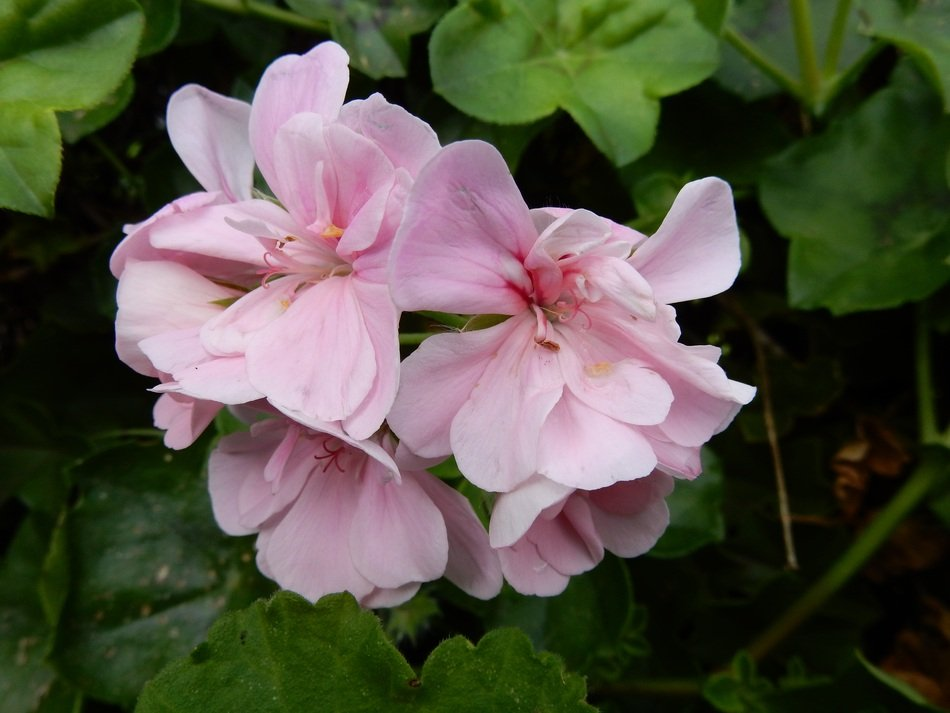light pink inflorescence of garden geranium