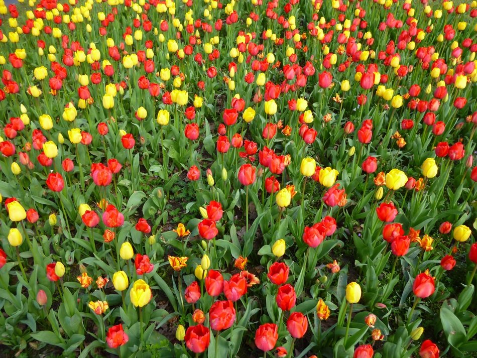 red and yellow tulips in a botanical garden