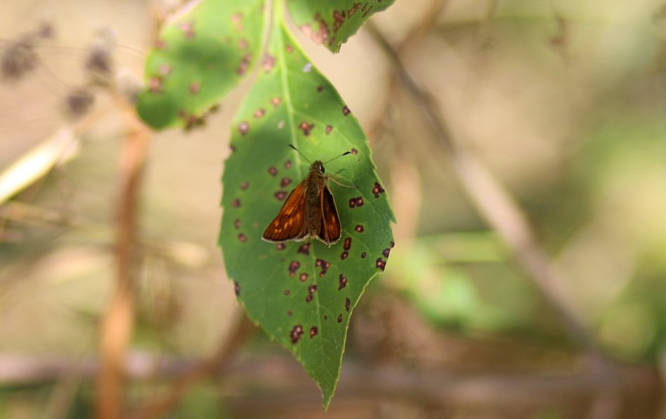 small Red Butterfly on spotted Leaf