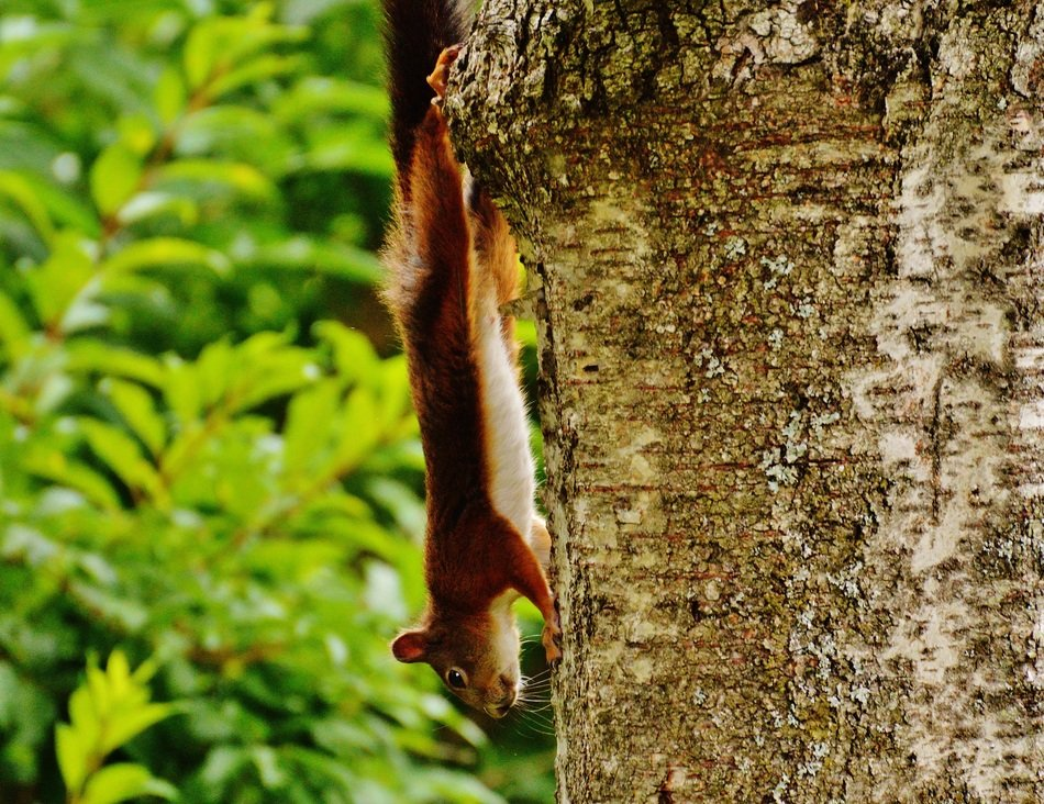 climbing upside down squirrel