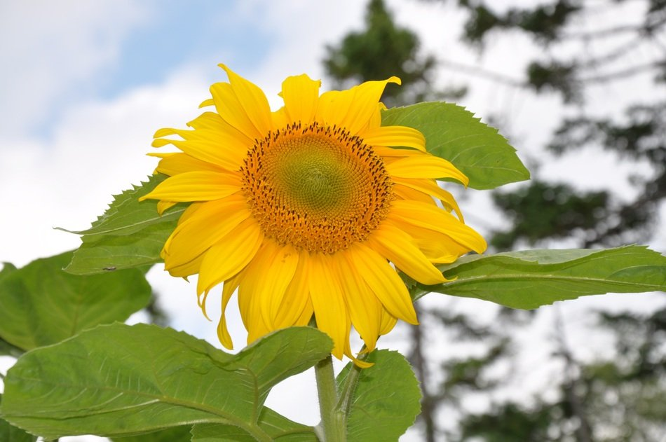 Sun Flower Plant in nature
