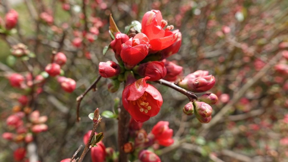 bush with red blossoms