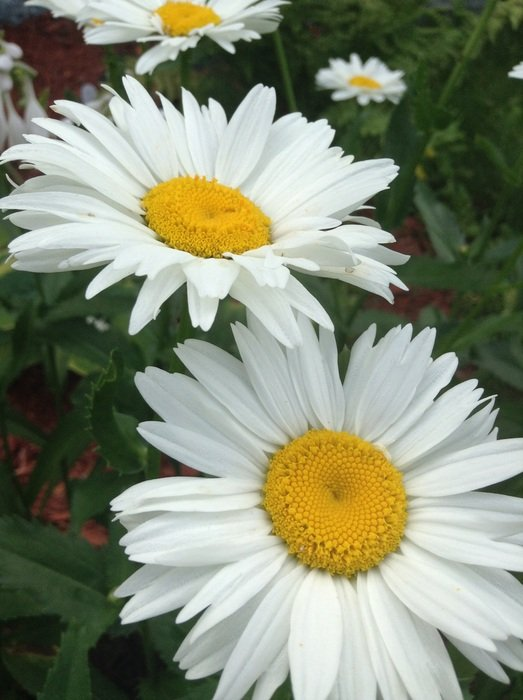 white daisies in the meadow