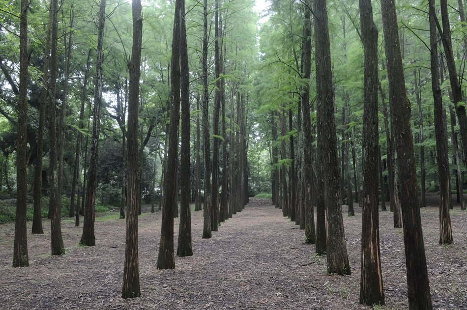 smooth rows of trees in metasequoia forest
