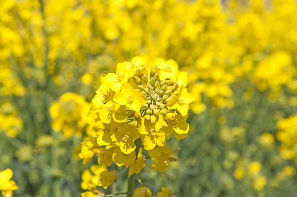 canola or rape on a blurred background