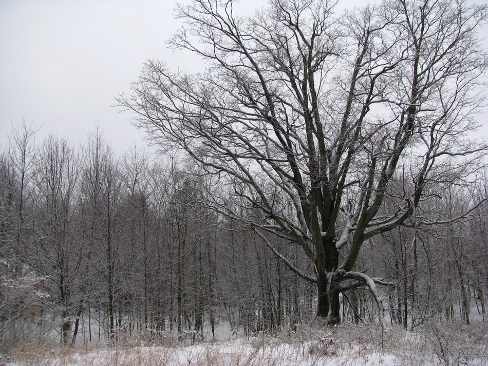 trees without leaves in the winter forest