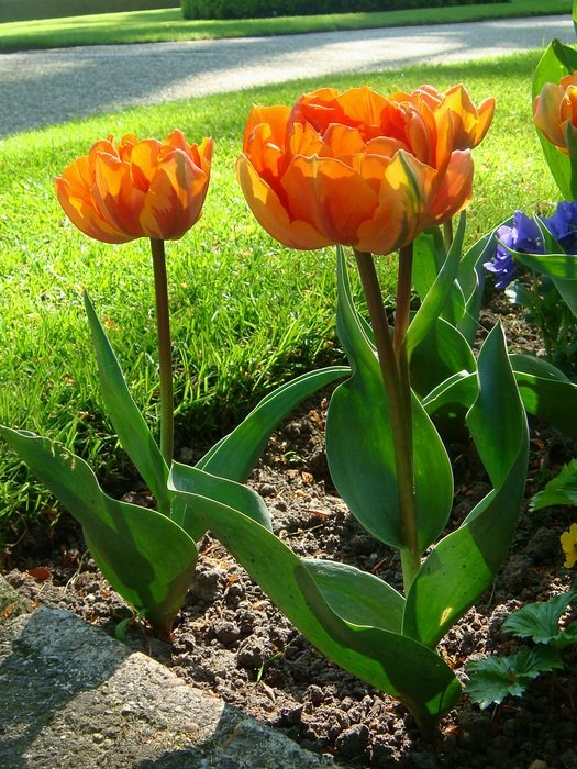 orange tulips in a flowerbed in the Netherlands