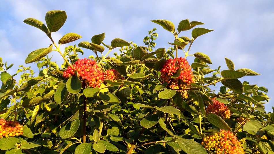 Orange Berries On A Bush In Alsace Free Image