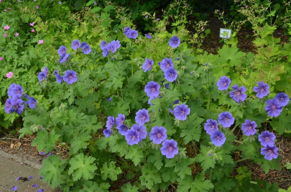 Picture of the geranium flowers in a Garden