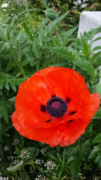 red poppy on green grass
