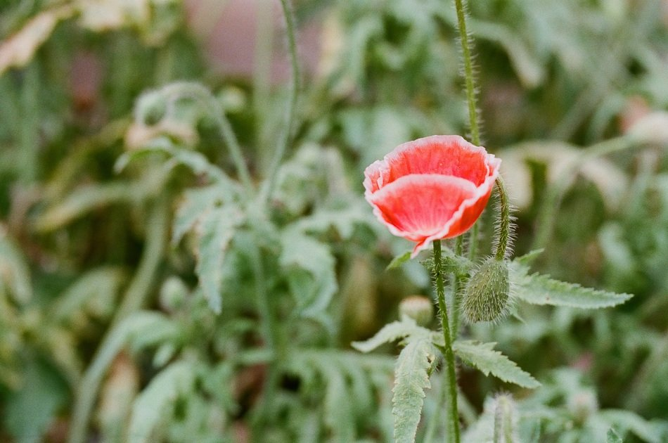 Beautiful, red, white-edged Poppy Flower and buds with green leaves on the meadow