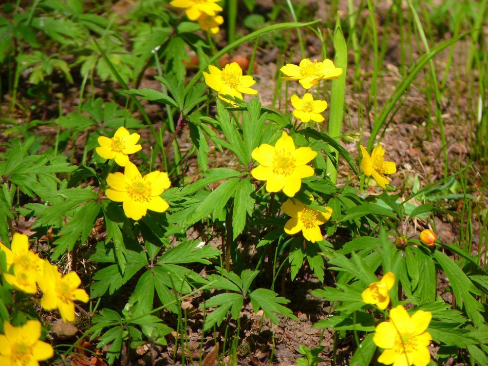 Yellow Wood Anemone or Anemone ranunculoides