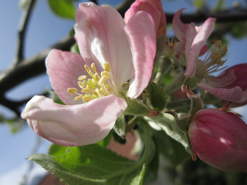 apple flower on a tree branch