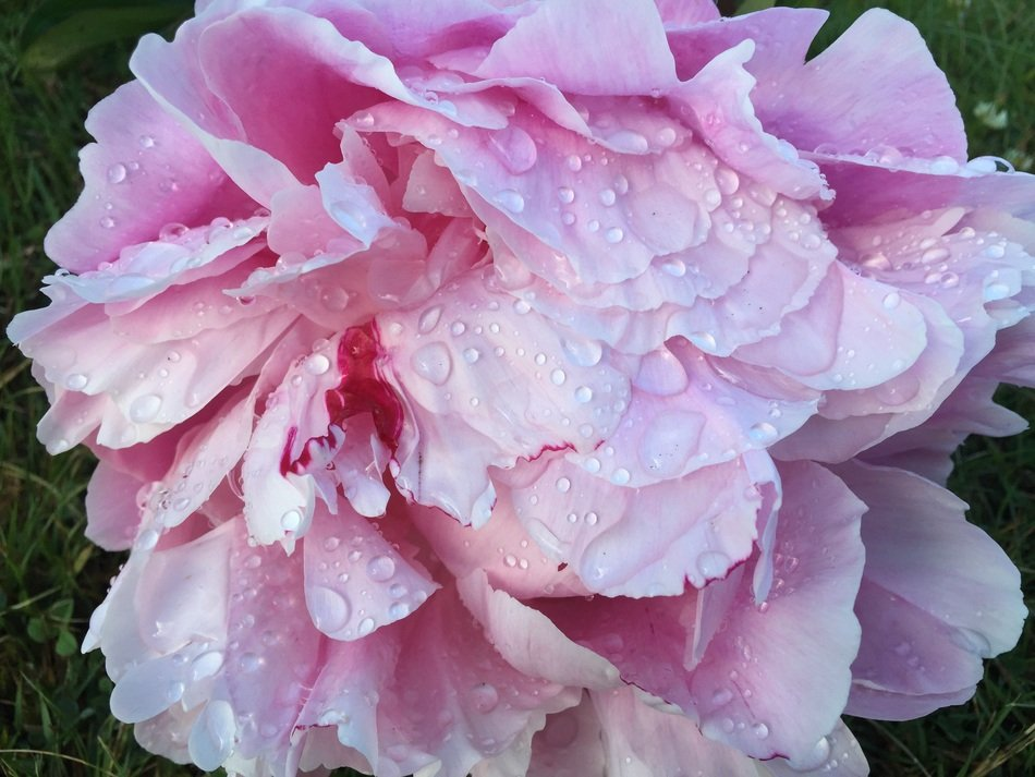 raindrops on a large light pink peony