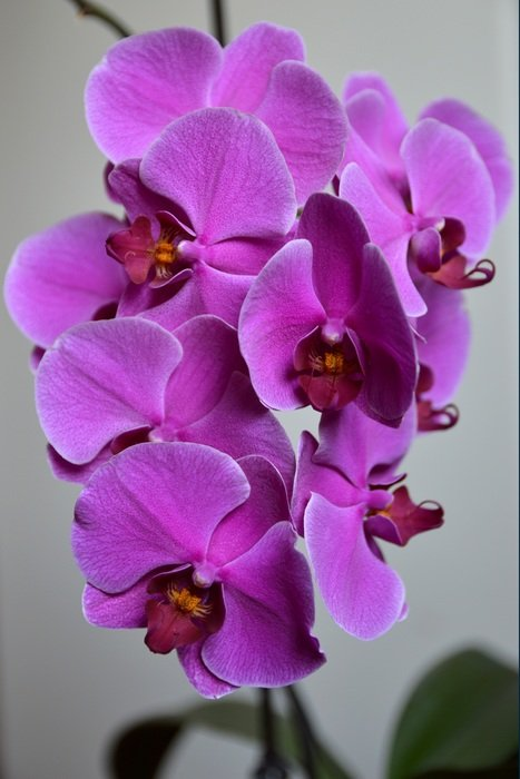 purple orchid blooms on a windowsill