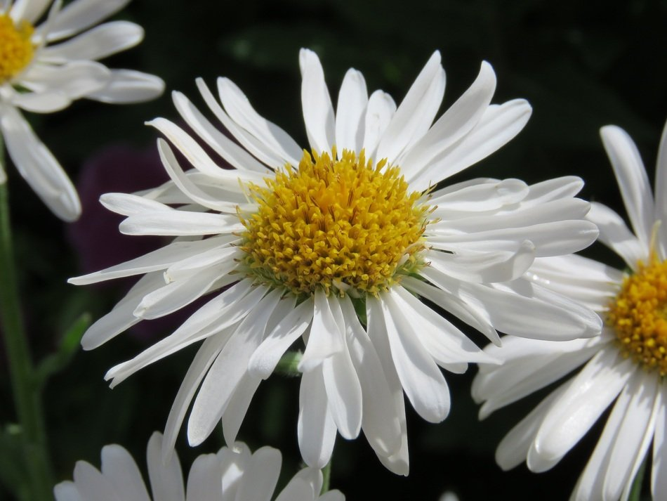 Therapeutic chamomile with a yellow core closeup