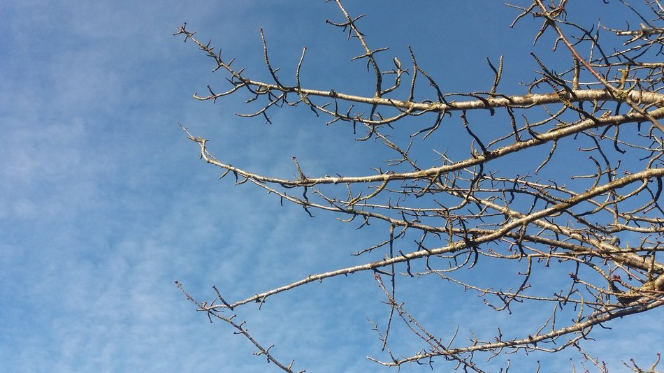 branches with buds of a large tree against the sky