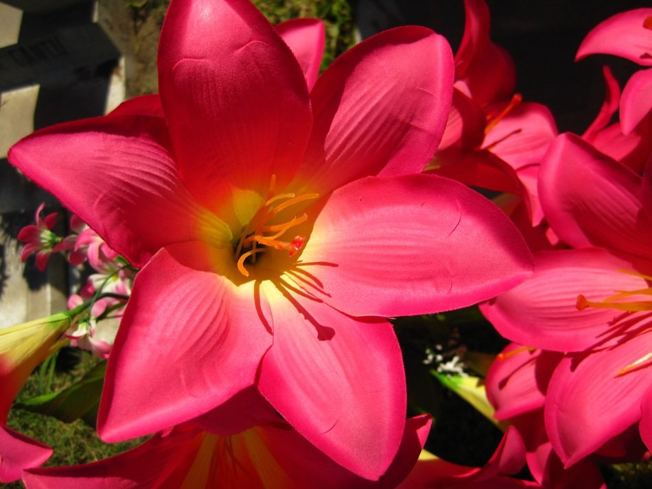 Close-up of the beautiful pink and yellow acapulco lily flowers
