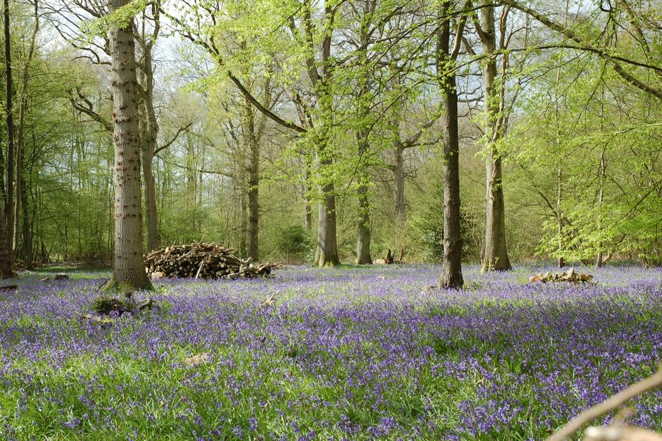 blue bells like a flower carpet in the forest