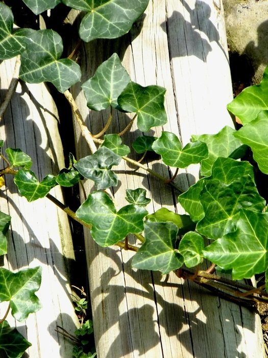 Ivy Vedben Plant Creeper on wooden fence