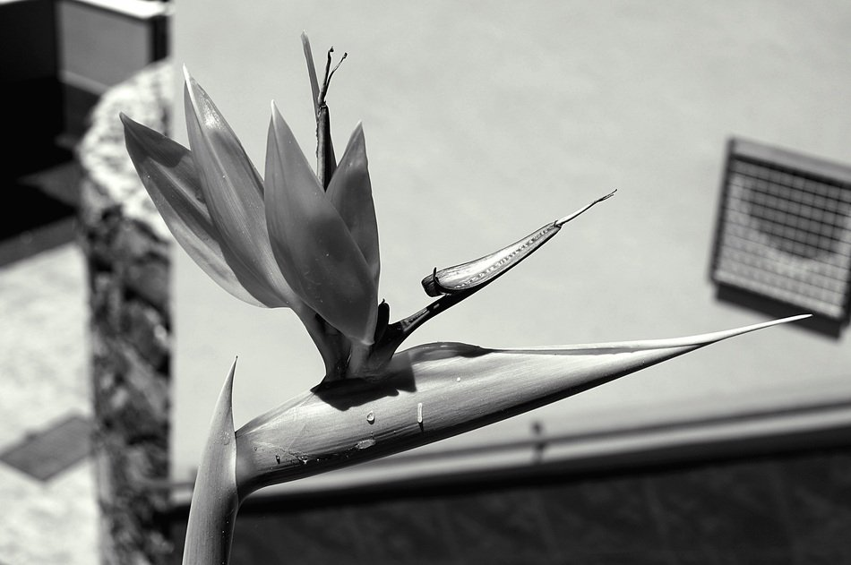 flower like a bird in black and white image