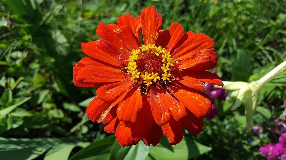 red zinnia in bright sun close up