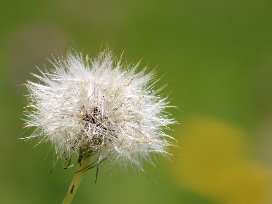dandelion as a fluff on a blurred background