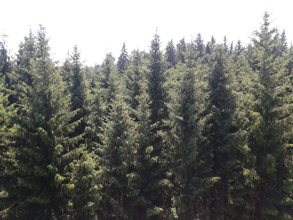 sunny day over coniferous forest