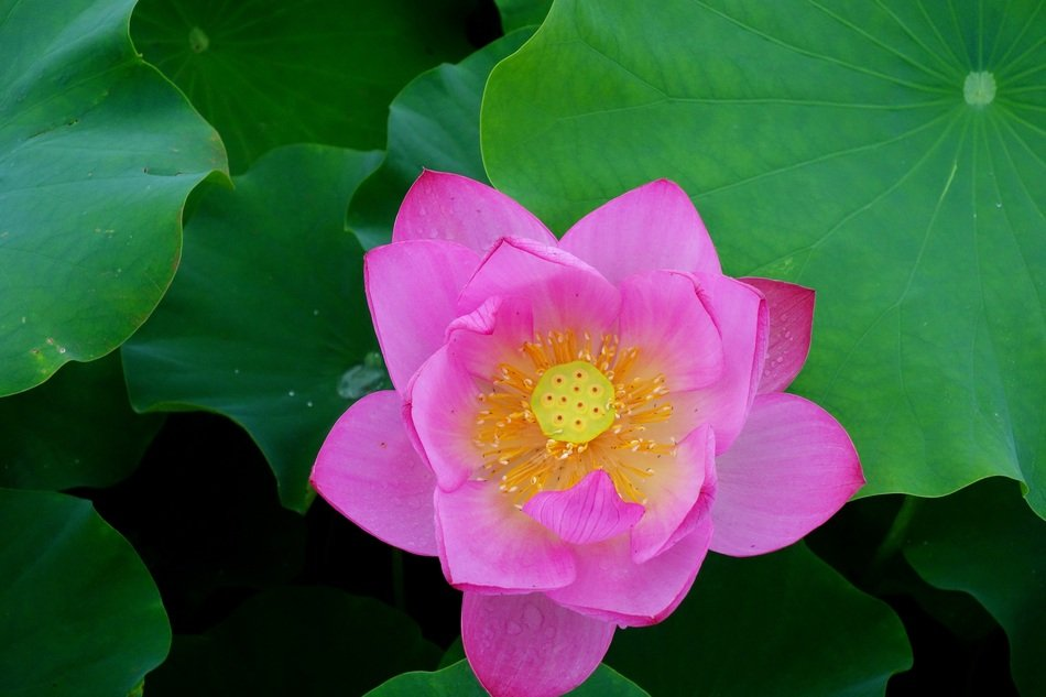 pink lotus on green leaves in a pond