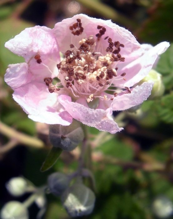 pink blackberry flower