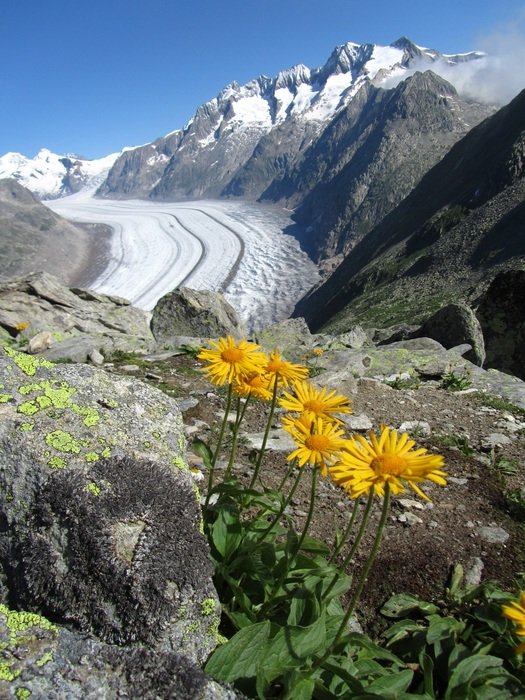 yellow flowers at the top of a mountain glacier