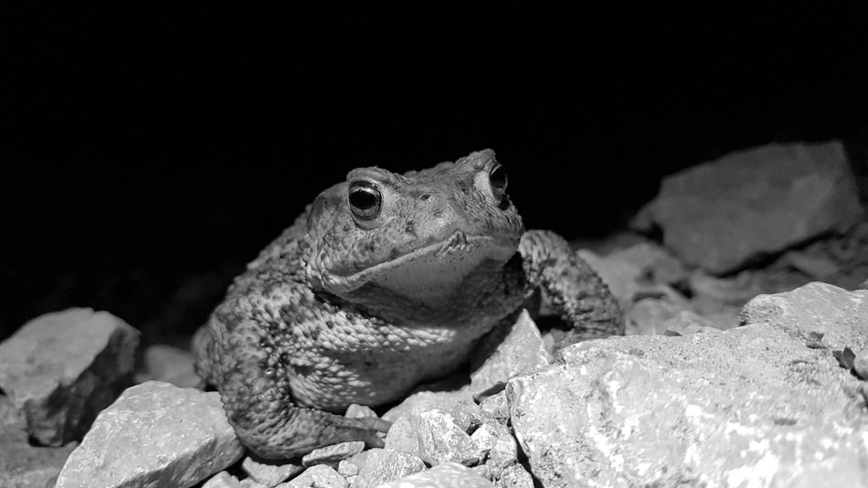 Toad on stone looking straight, black and white