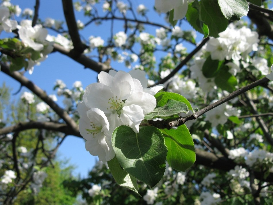 snow-white apple tree in spring bloom
