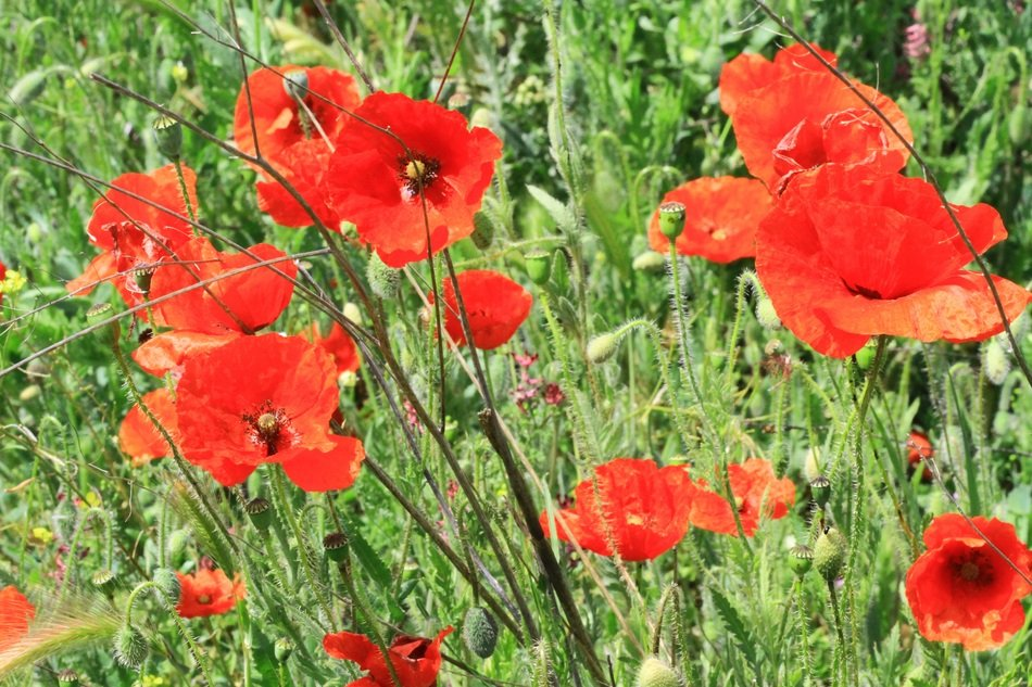 red poppies on a field among green grass