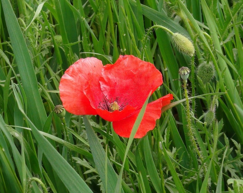 fragrant red poppy among green juicy grass