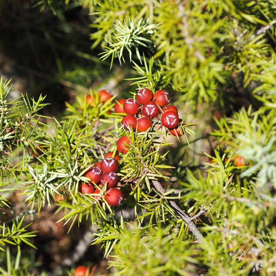 red yew berries
