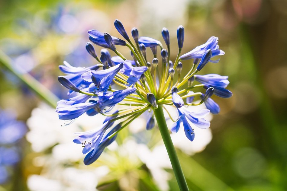 Blue blossoming agapanthus flowers