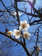 white flowers on a plum tree in sunny spring