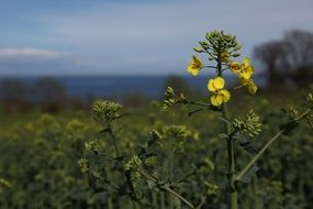 Natural Yellow Oilseed Rape